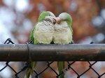 Parrots_i_love_you
