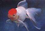 gold-fish-red-cap