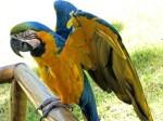 papagal4