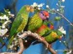 papagali2