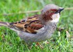 sparrow_vrabie