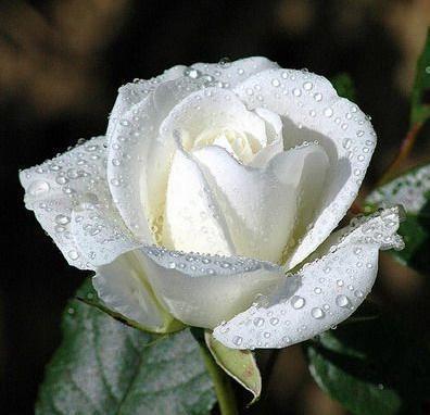 60. Gönülçelen -Inima furata - Heart Stealer - General Discussions - Comentarii - Pagina 20 Trandafir-alb