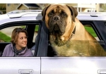 giant-English-Mastiff